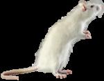 Скачать PNG картинку на прозрачном фоне Белая крыса на задних лапках, смотрит вправо