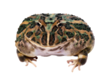 Скачать PNG картинку на прозрачном фоне Большая лягушка, вид спереди