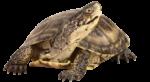 Скачать PNG картинку на прозрачном фоне Черепаха смотрит справо, вид спереди