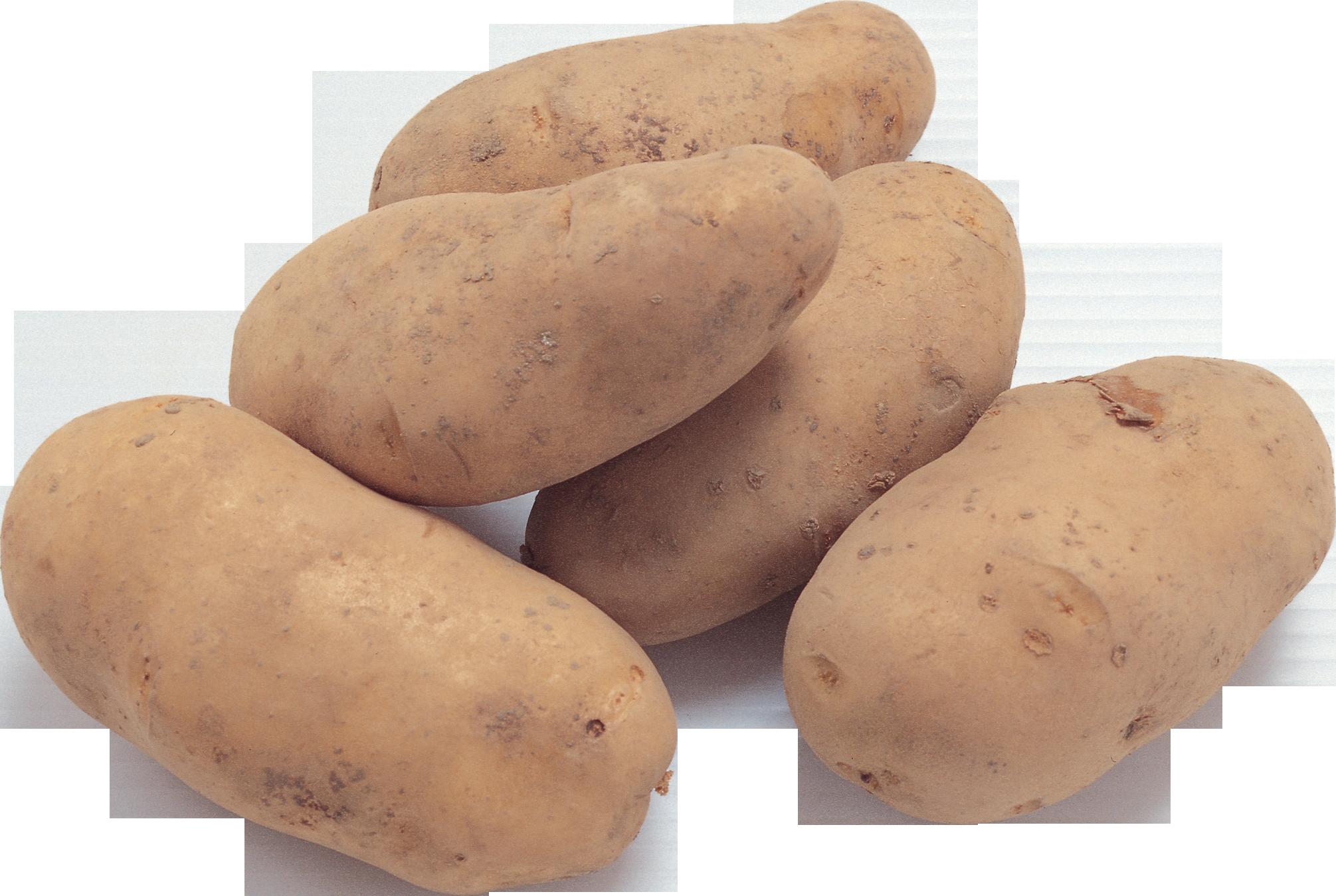 Картинка картошка для детей на белом фоне