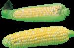 Скачать PNG картинку на прозрачном фоне Две наполовину очищенные кукурузы