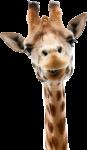 Скачать PNG картинку на прозрачном фоне Голова жирафа, смотрит вперед