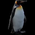 Скачать PNG картинку на прозрачном фоне Императорский пингвин стоит смотрит