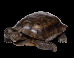 Скачать PNG картинку на прозрачном фоне Коричневая черепаха
