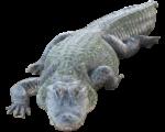 Скачать PNG картинку на прозрачном фоне Крокодил бежит вперед