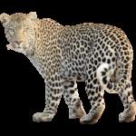 Скачать PNG картинку на прозрачном фоне Леопард идет влево и оборачивается