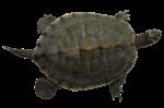Скачать PNG картинку на прозрачном фоне Маленькая черепаха, ползет влево