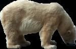 Скачать PNG картинку на прозрачном фоне Медведь склонил голову к земле