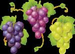 Скачать PNG картинку на прозрачном фоне Нарисованные виноградные грозди, синяя, красная и белая
