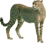 Скачать PNG картинку на прозрачном фоне Нарисованный гепард, стоит, смотрит влево