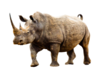 Скачать PNG картинку на прозрачном фоне Носорог смотрит ввперед