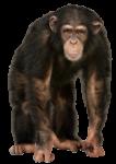 Скачать PNG картинку на прозрачном фоне Обезьяна шимпанзе стоит, смотрит вперед