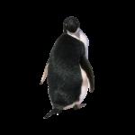 Скачать PNG картинку на прозрачном фоне Пингвин Адели вид сзади