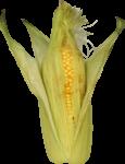 Скачать PNG картинку на прозрачном фоне Спелая кукуруза в листьях