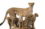 Скачать PNG картинку на прозрачном фоне Стая гепардов, маленькие
