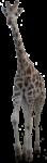 Скачать PNG картинку на прозрачном фоне Жираф идет вперед
