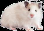 Скачать PNG картинку на прозрачном фоне Белая мышь с серыми ушками, смотрит вперед