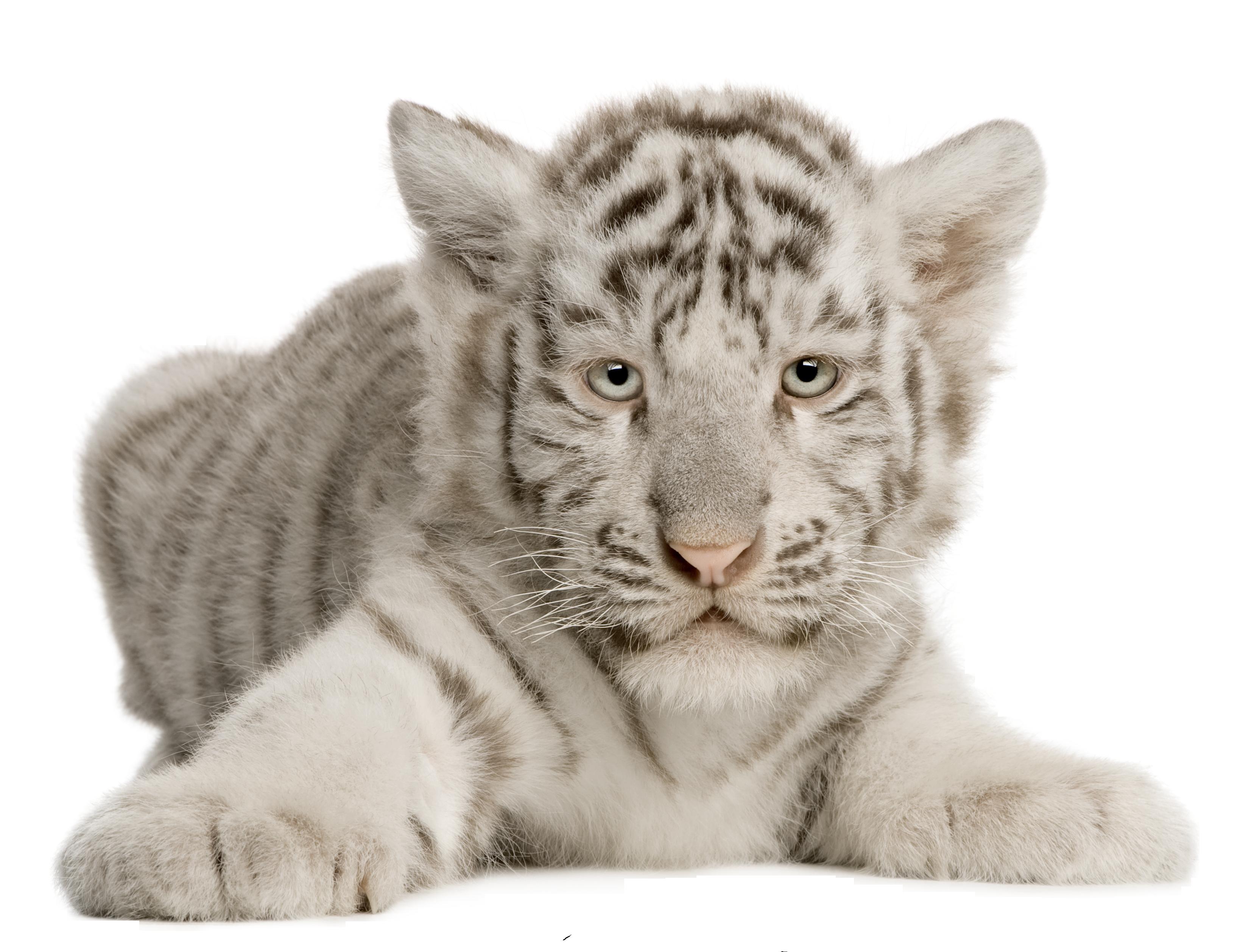 его картинка белый тигр на прозрачном фоне каждом люминесцентном
