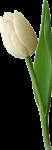 Скачать PNG картинку на прозрачном фоне Белый тюльпан с одним листом