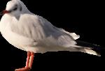 Скачать PNG картинку на прозрачном фоне чайка, боком