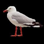 Скачать PNG картинку на прозрачном фоне чайка, боком, вправо