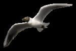 Скачать PNG картинку на прозрачном фоне чайка, нарисиванная, полет ввысь
