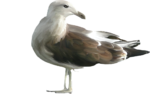 Скачать PNG картинку на прозрачном фоне чайка, нарисиванная, поворот головы налево, сбоку