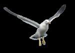 Скачать PNG картинку на прозрачном фоне чайка,, полет, расправив крылья