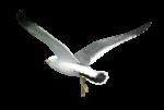 Скачать PNG картинку на прозрачном фоне чайка, полет, сзади