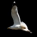 Скачать PNG картинку на прозрачном фоне чайка, полет, вправо