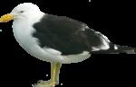Скачать PNG картинку на прозрачном фоне чайка,нарисиванная, мрачный, боком