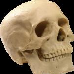 Скачать PNG картинку на прозрачном фоне Человеческий череп, вид спереди