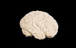 Скачать PNG картинку на прозрачном фоне Человеческий мозг, гипсовый, вид сбоку