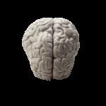 Скачать PNG картинку на прозрачном фоне Человеческий мозг, пластиковый, вид сверху