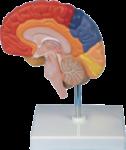 Скачать PNG картинку на прозрачном фоне Человеческий мозг, половина, пластиковый на подставке
