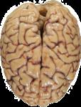 Скачать PNG картинку на прозрачном фоне Человеческий мозг, вид сверху
