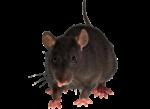 Скачать PNG картинку на прозрачном фоне Черная мышь идет вперед