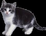 Скачать PNG картинку на прозрачном фоне Черно-белый котенок сбоит боком