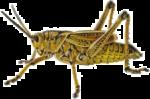 Скачать PNG картинку на прозрачном фоне Черно-коричневый кузнечик, вид сбоку