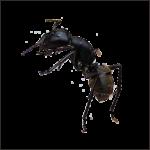 Скачать PNG картинку на прозрачном фоне Черный муравей, вид сбоку, лезет на верх