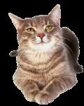 Скачать PNG картинку на прозрачном фоне Довольный кот, лежит в виде сфинкса