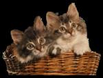 Скачать PNG картинку на прозрачном фоне Два пушистых котика в корзине