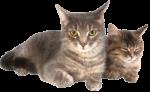 Скачать PNG картинку на прозрачном фоне Два серых кота лежат рядом