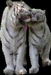 Скачать PNG картинку на прозрачном фоне двое ласкаются, тигр