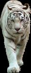 Скачать PNG картинку на прозрачном фоне ходьба вперед, взгляд вперед, тигр