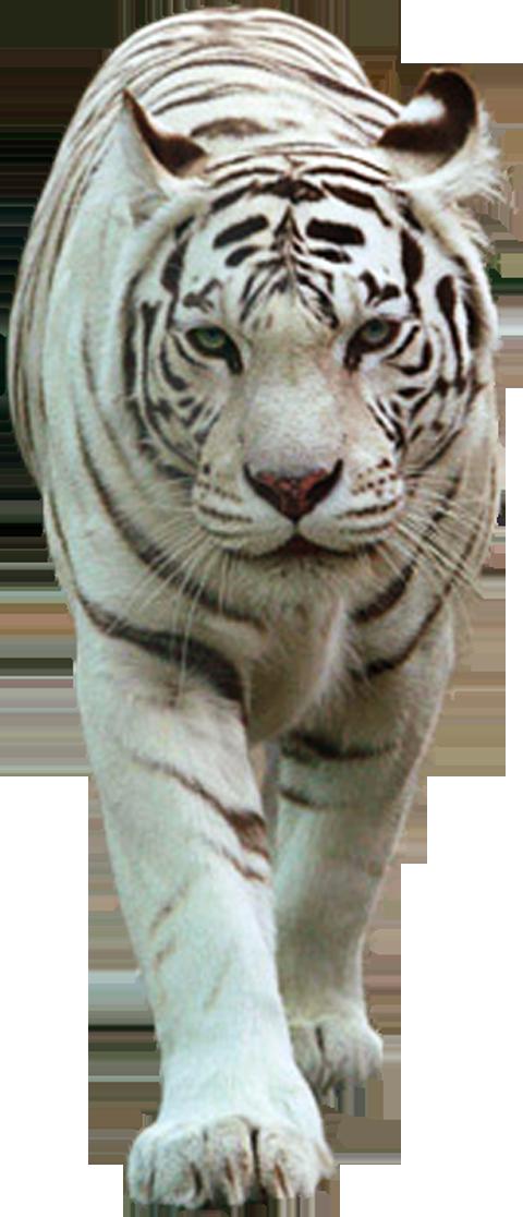 котором картинка белый тигр на прозрачном фоне горка