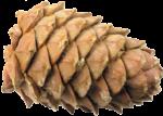Скачать PNG картинку на прозрачном фоне Кедровая шишка вид сбоку
