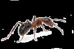 Скачать PNG картинку на прозрачном фоне Коричнево-черный муравей стоит