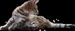 Скачать PNG картинку на прозрачном фоне Кот лежит, обернулся назад