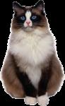Скачать PNG картинку на прозрачном фоне Кот с голубыми глазами, сидит смотрит вперед